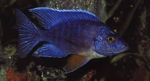 malawisee aquarium blaues licht