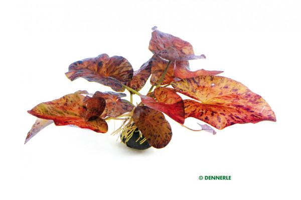 Nymphaea lotus, Rot