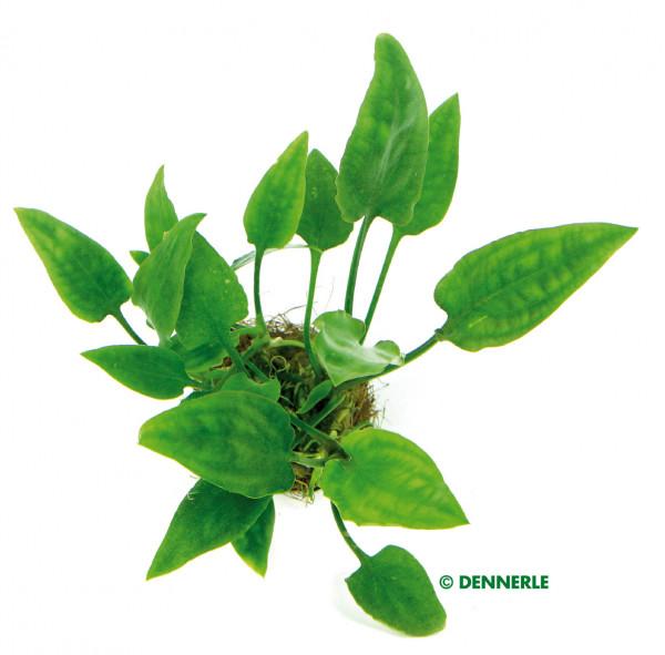C. pontederifolia