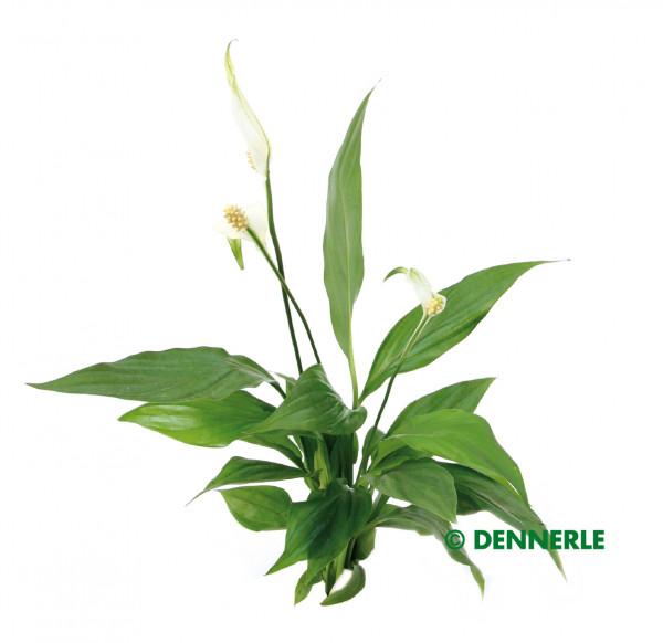 Spatiphyllum wallisii
