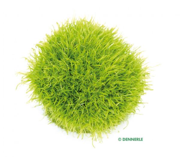 Utrucilaria graminifolia