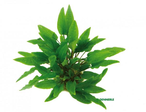 C. wendtii grün