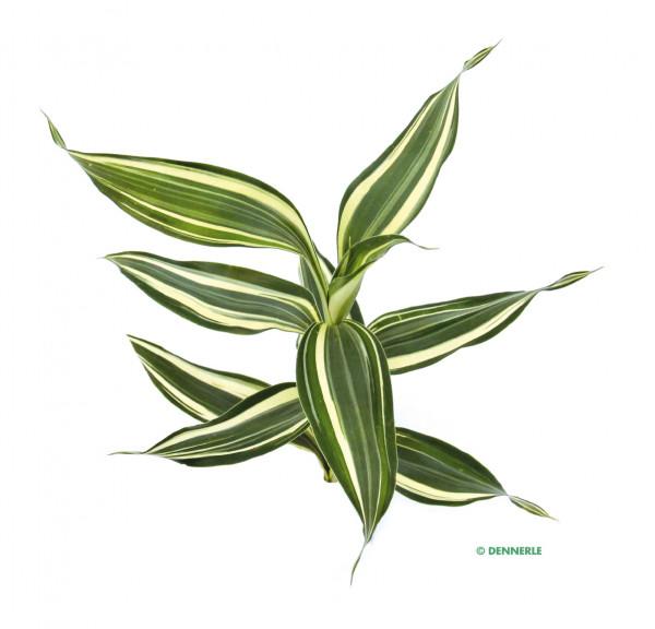 Dracenae sanderiana