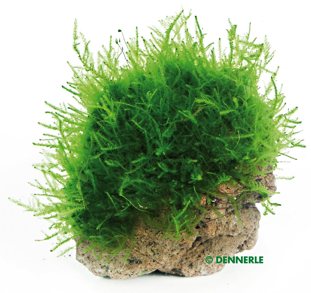 moosstein pflanzen auf stein pflanzen ihr onlineshop f r aquaristik. Black Bedroom Furniture Sets. Home Design Ideas