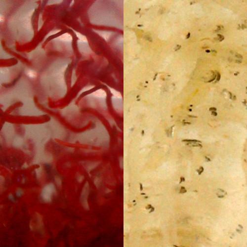 Rote und Weiße Mückenlarven Lebendfutter Mix